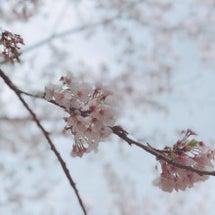 桜が満開なので…