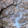 幸手権現堂桜見物の画像