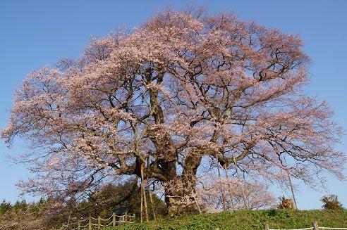 醍醐桜364