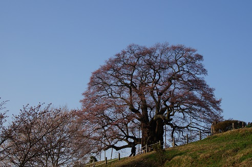 醍醐桜346