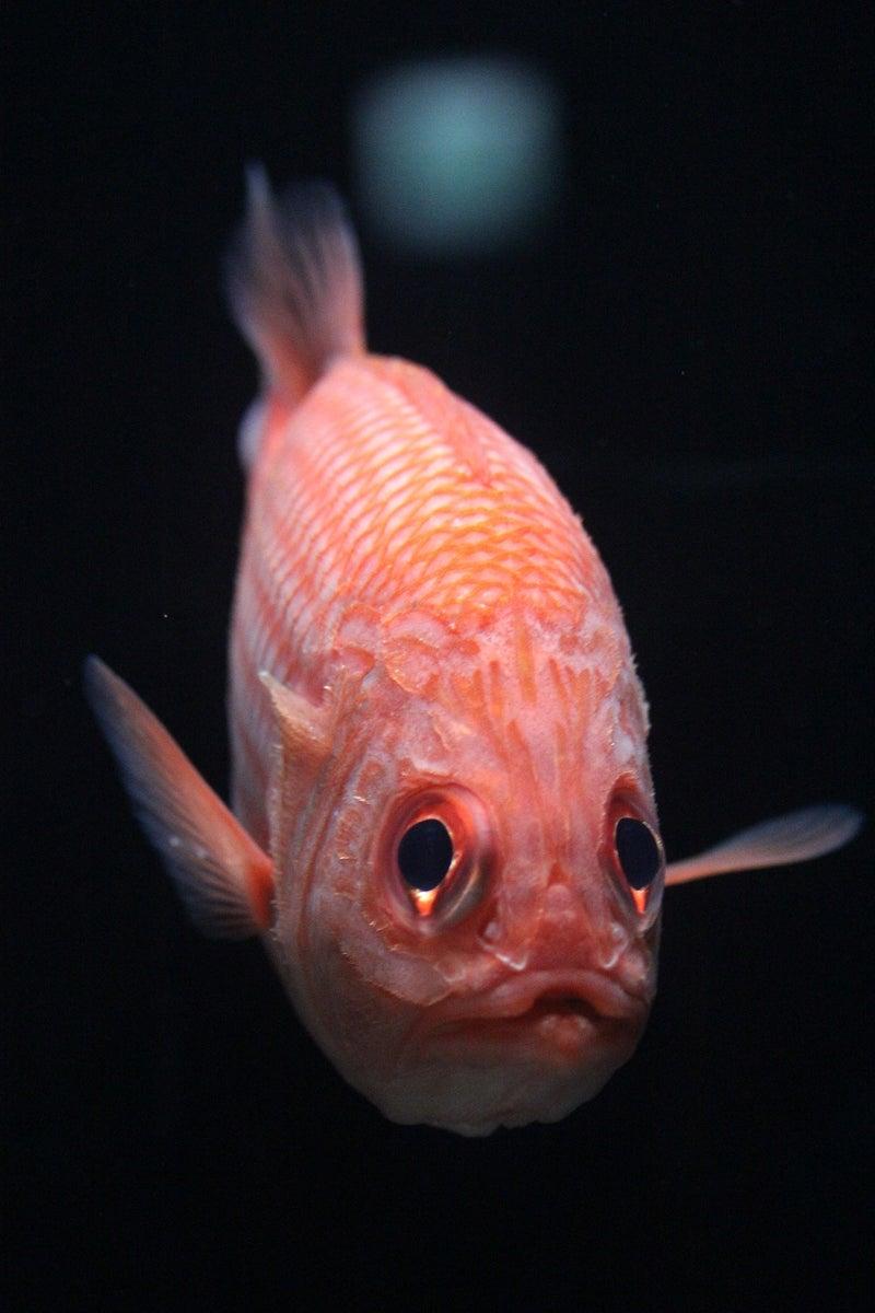 好きな深海魚 | 沼津港深海水族...