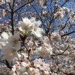桜 満開ーー