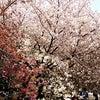 お花見❀✿汐華の画像