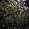 夜桜(*´▽`*)の画像