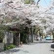 鎌倉でお花見