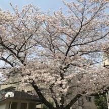 見納めの桜(2018…