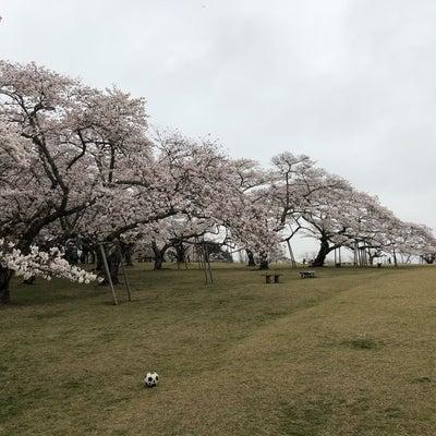 入学式と桜の記事に添付されている画像