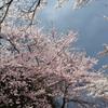 桜の魅力にはあらがえないの画像