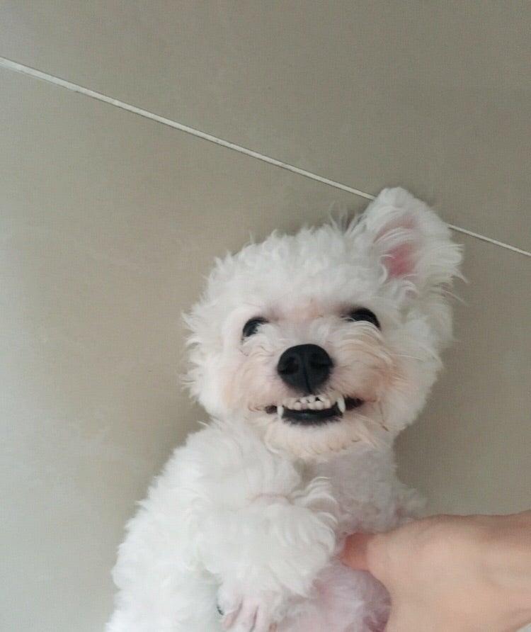 Resultado de imagen para maltese 犬 怒っている