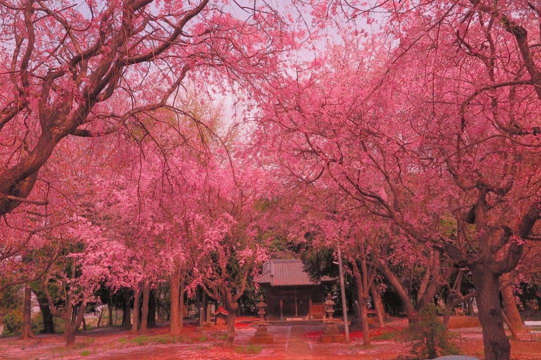 実ケ谷久伊豆神社の八重紅枝垂 2018/4/2 | Lagreinのブログ