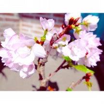 我が家の盆栽の桜