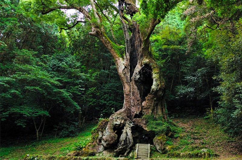 武雄神社、ご神木、巨木ランキング日本6位