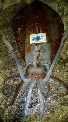 2017年4月4日和歌山県南紀でヤエンで釣り上げたレッドモンスターと言われる赤系アオリイカ 4.4キロがレコードです