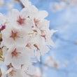 小峰城と桜。