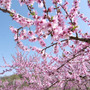 新府城の桃。