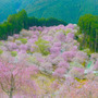 高見の郷 桜 奈良