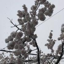 がいせん桜祭り2018 (岡山県 真庭市 新庄村)の記事に添付されている画像