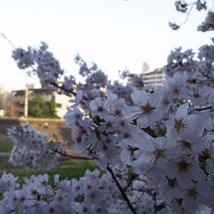 ふらっと旅に出るM日記③  戸塚の桜編の画像