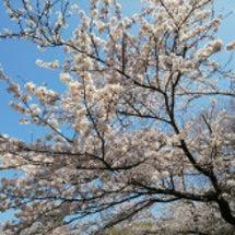 今年は桜が早かった