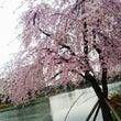 桜も満開Ψ( 'ω'…