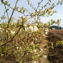 ブルーベリーの花が開…