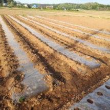 ジャガイモ畑のようす…