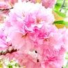 造幣局の桜を見てきましたの画像