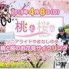 皆さんと「桃と桜のサイクリング」(^^)の画像