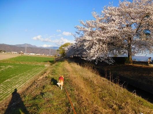 風の桜んぽ211