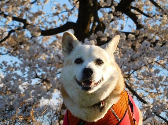 風の桜んぽ220