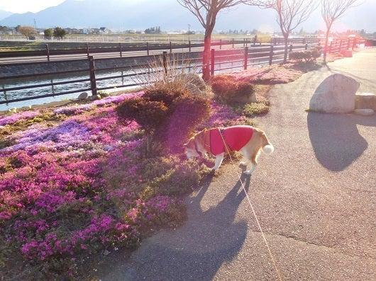 風の桜んぽ29