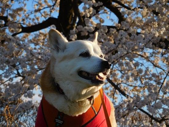 風の桜んぽ218