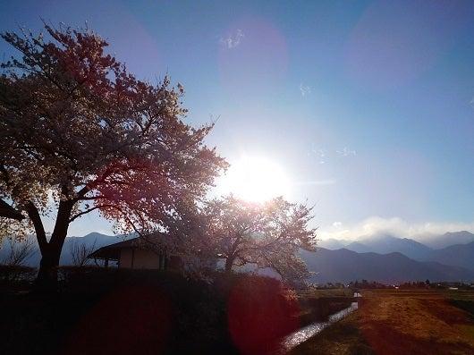 風の桜んぽ226