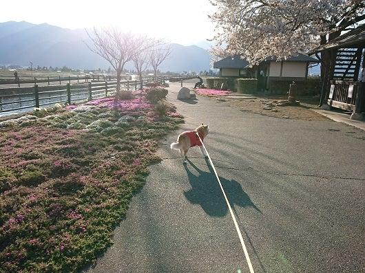 風の桜んぽ28