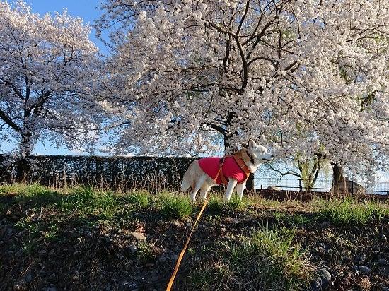 風の桜んぽ213