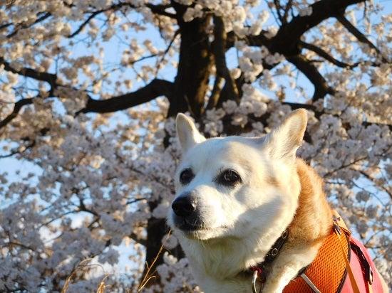 風の桜んぽ219