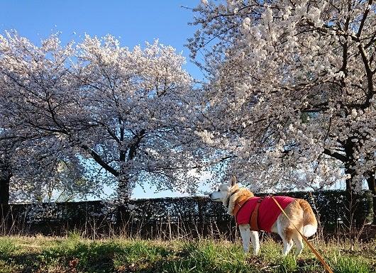 風の桜んぽ212
