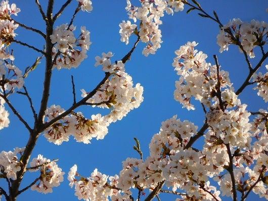 風の桜んぽ217