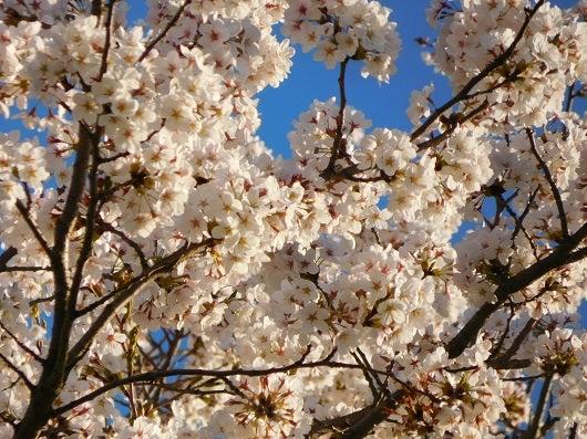 風の桜んぽ216
