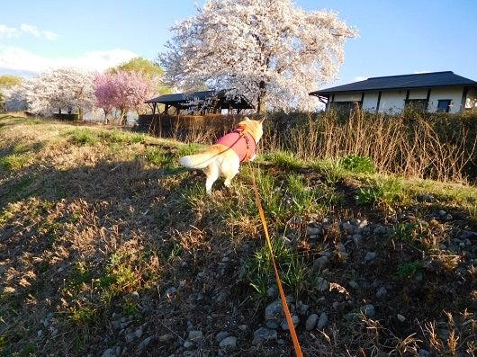 風の桜んぽ225