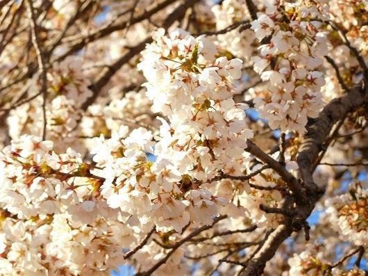 風の桜んぽ222