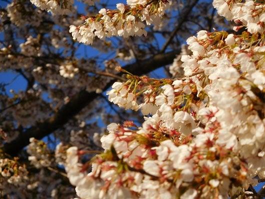風の桜んぽ221