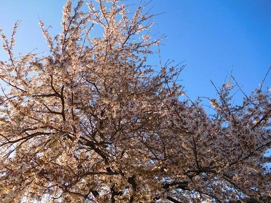 風の桜んぽ223
