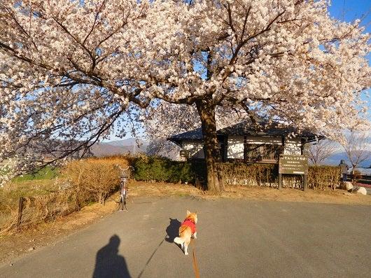 風の桜んぽ22