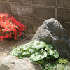 庭の霧島ツツジが満開です!の画像