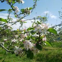 林檎の花がほぼ満開❗…