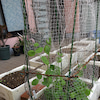 春の作物を植えました in 一番館の画像