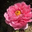 初牡丹とイチハツの花