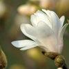 木蓮の涙の画像