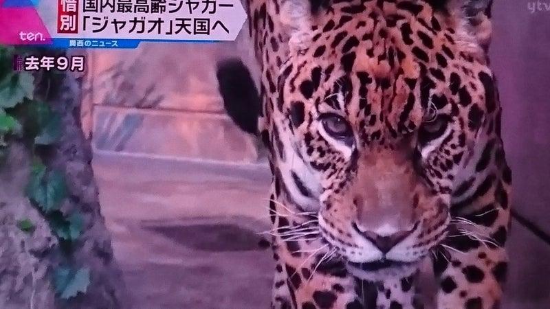 淳太くんがお世話したジャガーの...